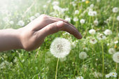 Hand covering a little dandelion on the field