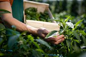 Hand examining crop