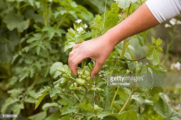 Hand feeling tomato plant in garden