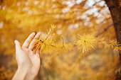 Hand hold Golden autumn with yellow trees in the forest. Tree with yellow larch needles in the hands of women, autumn came. Wonderful autumn mood