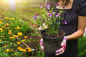 hand hold pot with pansies on the blossoming garden background