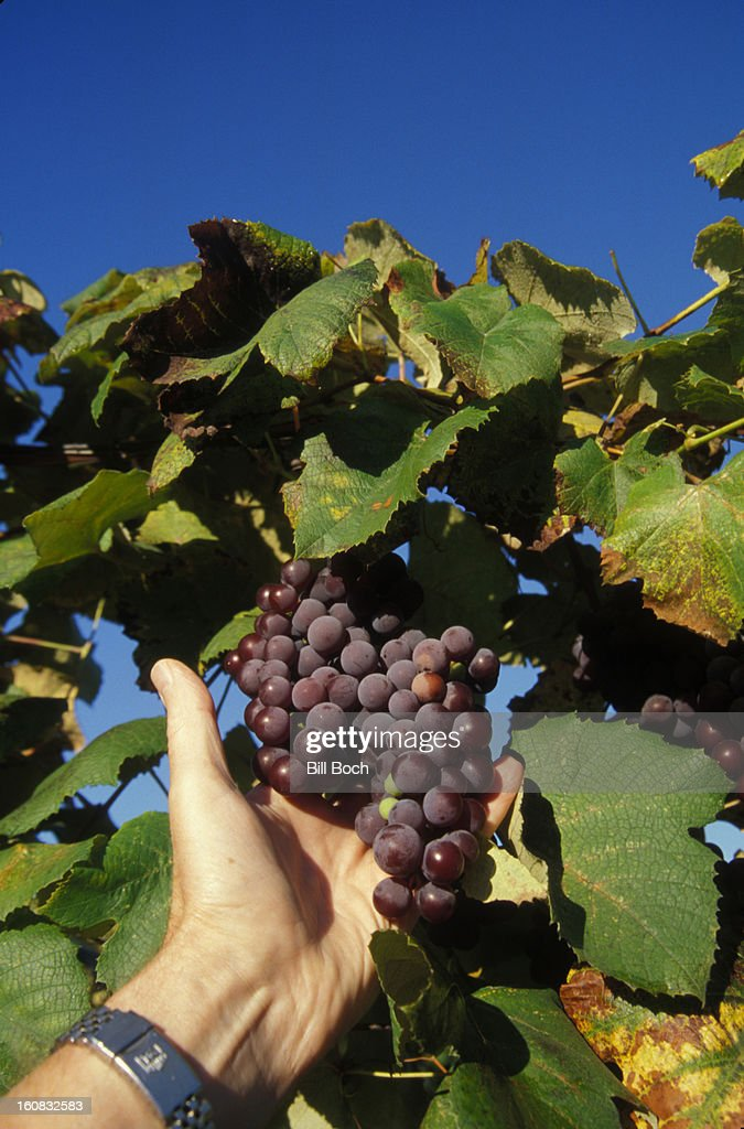 Hand holding concord grapes on vine : Stock Photo