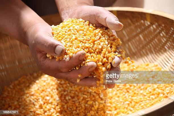 Hand holding corns