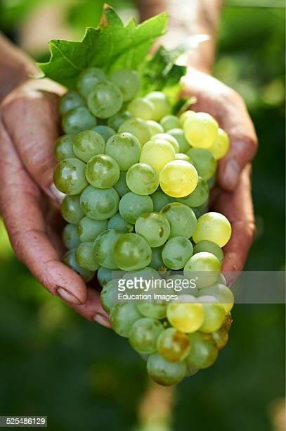 Hand Holding Grapes Margaret River Australia