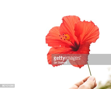 Hand holding hibiscus bloom : Stock Photo