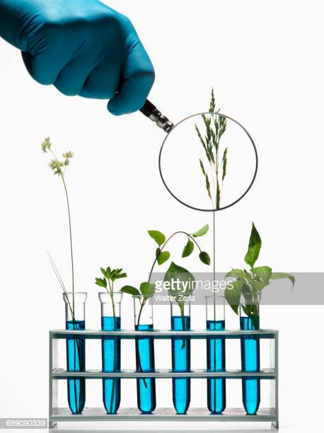 Hand holding magnifying glass on plants growing in test tubes