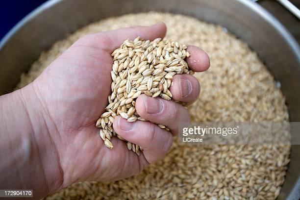 Hand holding Malted Barley