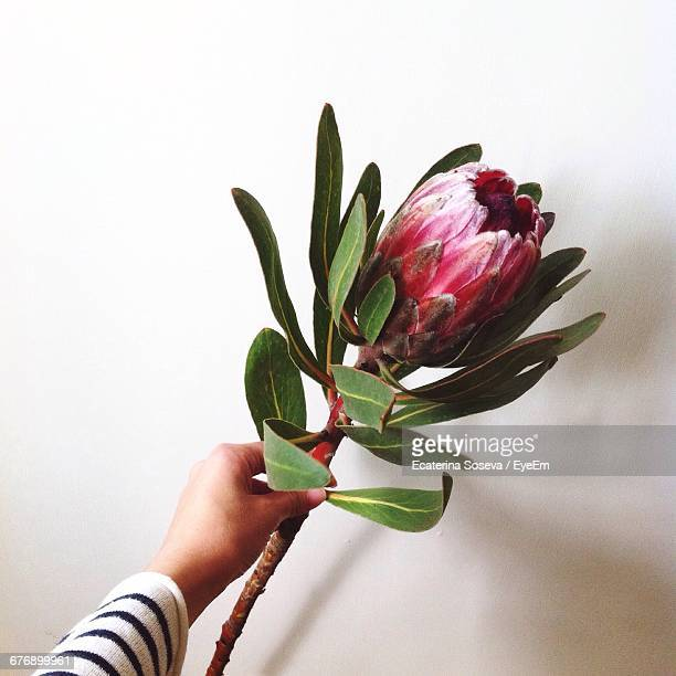 Hand Holding Protea Flower Against Wall