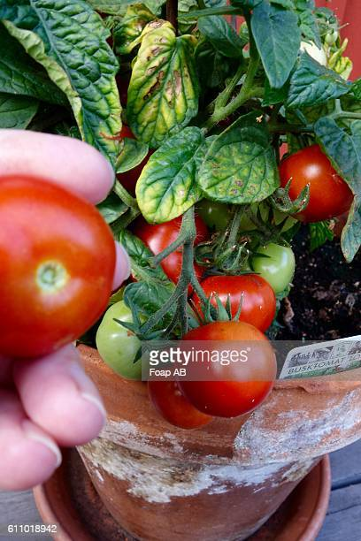 Hand holding ripe tomato on plant
