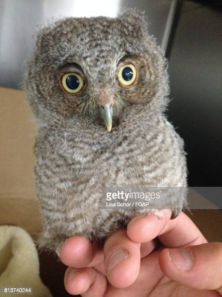 Hand holding wild young owl