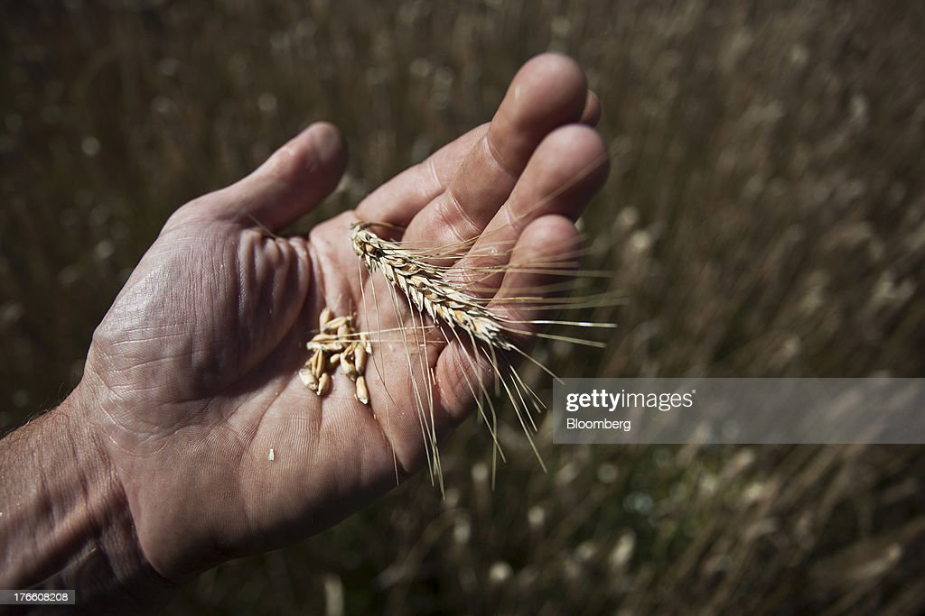 A hand holds an ear and grains of triticale wheat during a harvest in this arranged photograph in Ceras, southwest France, on Thursday, Aug. 15, 2013. French farmers harvested better-quality wheat than expected north and east of Paris, making up for low protein content in the southwest and raising confidence the grain will meet export requirements. Photographer: Balint Porneczi/Bloomberg via Getty Images