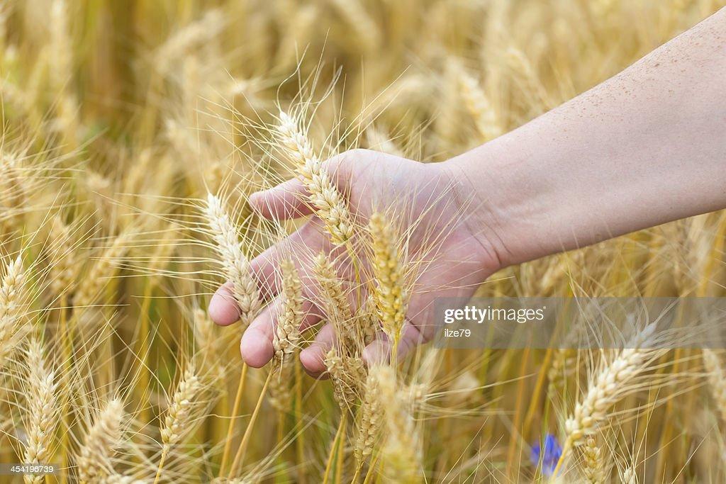 Mão perto de cereais Ouvidos : Foto de stock