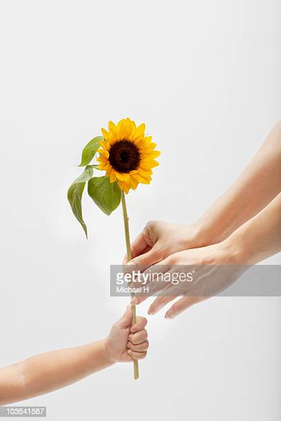 Hand of child who passes mother sunflower