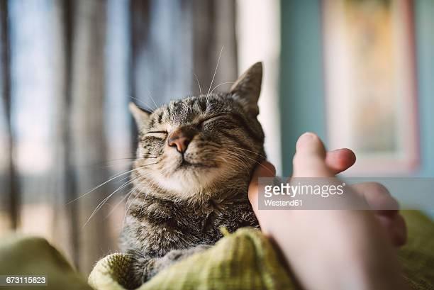 Hand of man stroking tabby cat