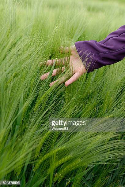 Hand of teenage girl touching spikes in a barley field