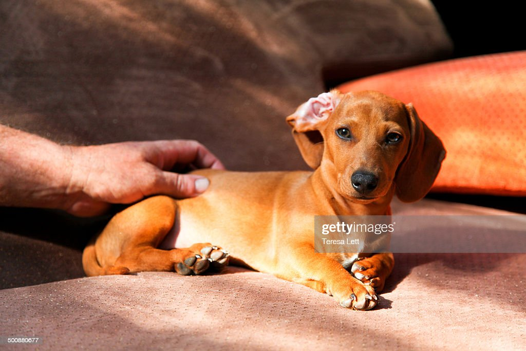 Hand petting dachshund puppy
