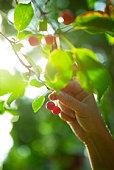 A hand picking cherries, Sweden.