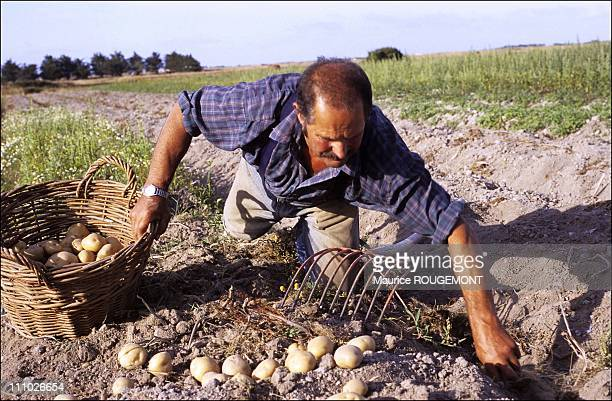 Hand picking potatoes of Noirmoutier in Noirmoutier Island in Ile de Noirmoutier France on October 17th 2005
