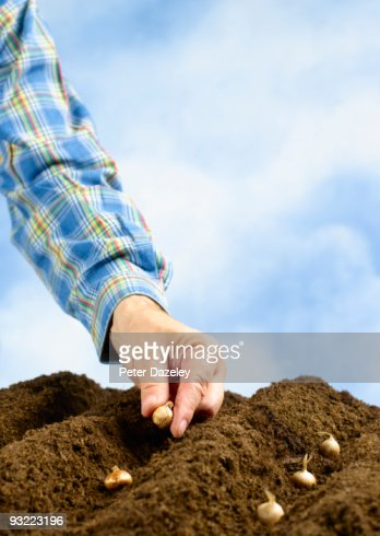 Hand planting crocus bulbs in soil. : Stock Photo