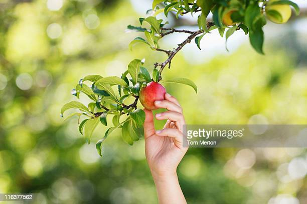 Hand reaching for plum on branch