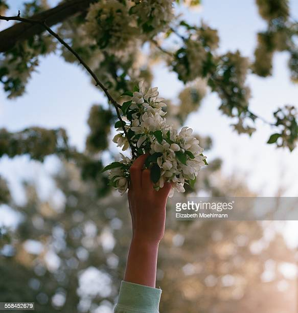 Hand reaching up for spring blossom