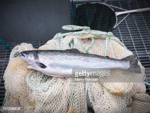 Hand reared, sustainably fed, fresh salmon from Scottish salmon farm