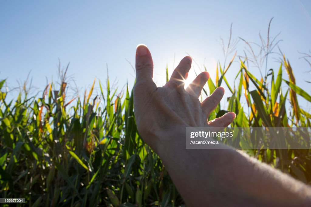 A hand stroking ripening corn stalks in a field : Stock Photo