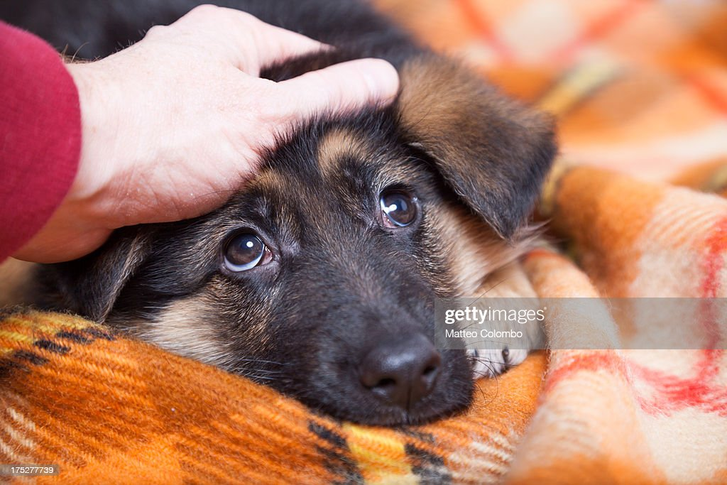 Hand stroking young german shepherd dog : Stock Photo