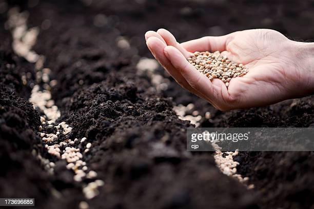 Hand with wheat seeds preparing to sow in soil