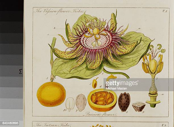 A handcolored drawing and diagrams of a purple passionflower with its fruit The drawing is from John Lindley's 1834 text Ladies' Botany