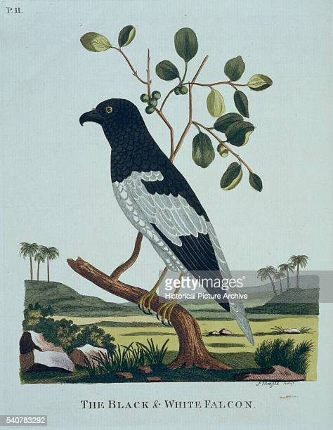 Handcolored engraving from Thomas Pennant's book entitled Indian Zoology published in London in 1790