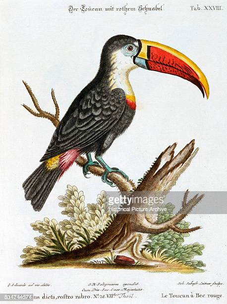 HandColored Print of a Toucan