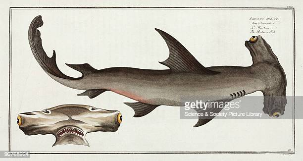 Handcoloured engraved plate 117 by G Bodenehr drawn by Kruger Jr after a drawing by Marcus Bloch from his 'Ichthyologie' a work on the natural...