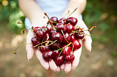 Cupped hands full of red cherries