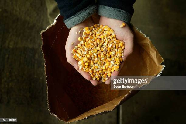 A handful of forage maize seed is seen on March 5 2004 in Bishop's Stortford England British MPs from the Environmental Audit Committee have told the...