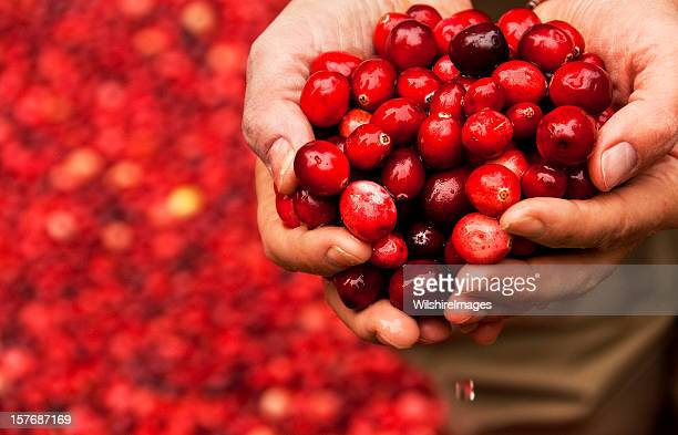 Handful of Fresh Cranberries held by a Cranberry Bog Worker
