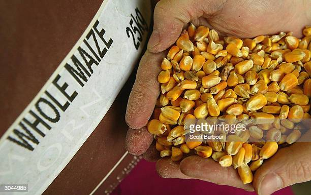 A handfull of forage maize seed is held March 5 2004 in Bishop's Stortford England British MPs from the Environmental Audit Committee have told the...