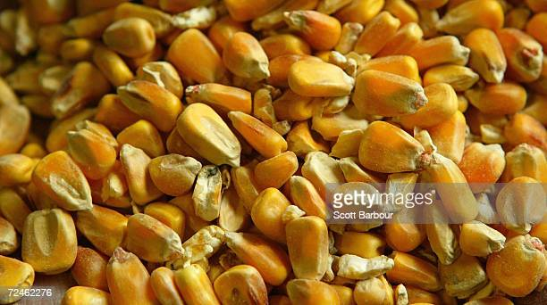 A handfull of forage maize seed is seen on March 5 2004 in Bishop's Stortford England British MPs from the Environmental Audit Committee have told...