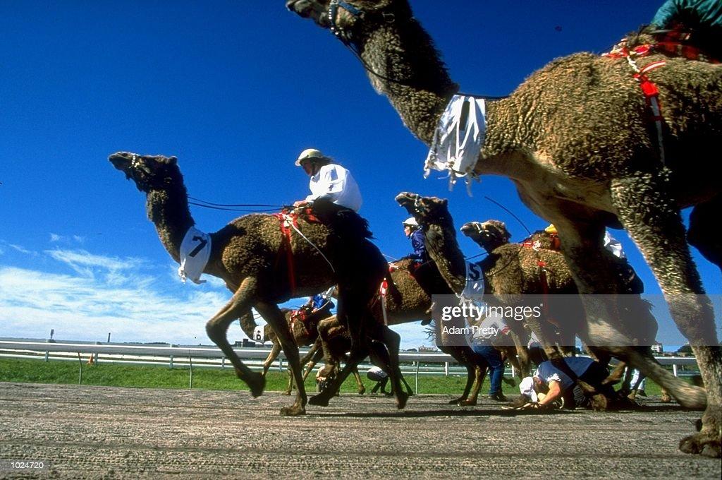 A handler gets trampled during a camel race in Australia. \ Mandatory Credit: Adam Pretty /Allsport