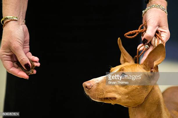 A handler gives her Cirneco dell'Etna a treat following the announcement that the Westminster Dog Show would introduce seven new dog breeds into the...