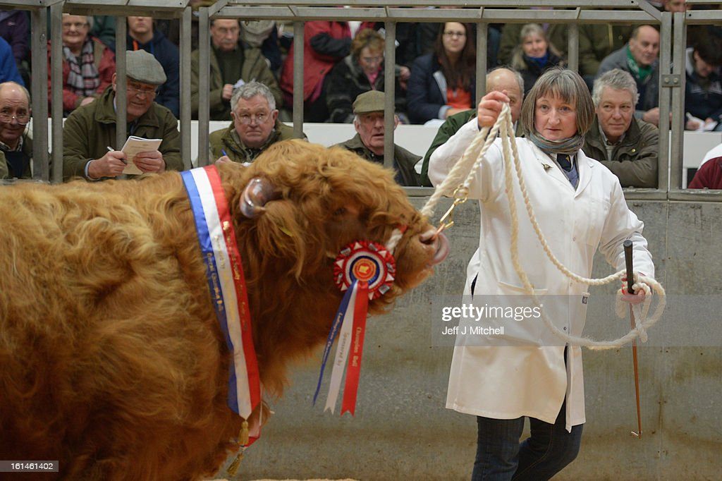 A handler parades a Highland in the auction ring as farmers gather for the 122nd Highland Cattle Society spring sale at Oban Livestock centre on February 11, 2013 in Oban, Scotland. The show and sale held over two day's is open to all highland breed enthusiasts, attracting many buyers from across Europe and North America.