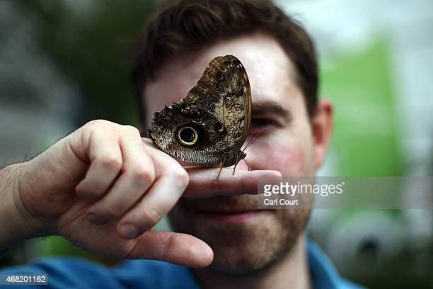 A handler poses with an Owl butterfly during a photocall to highlight the forthcoming 'Sensational Butterflies' exhibition at the Natural History...