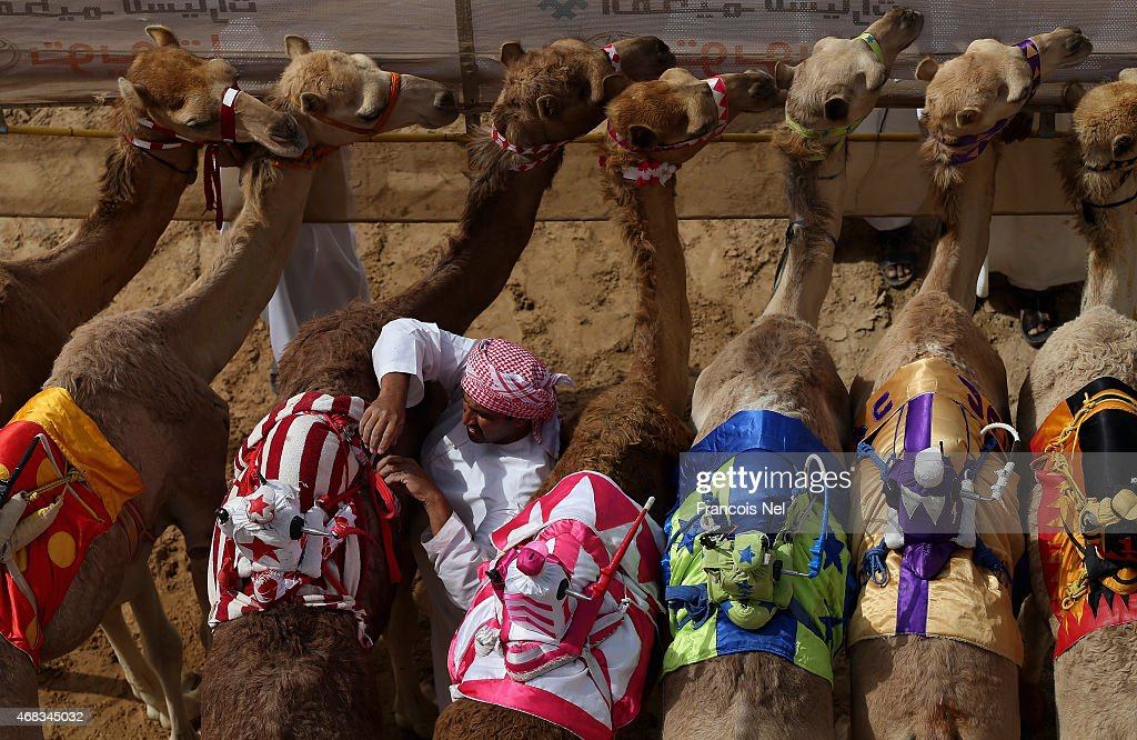 A handler prepares camels to race during Al Marmoom Heritage Festival at the Al Marmoom Camel Racetrack on April 1, 2015 in Dubai, United Arab Emirates.The festival promotes the traditional sport of camel racing within the region.