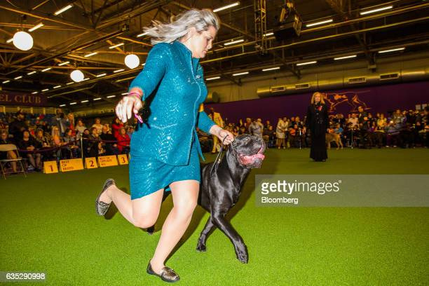 A handler runs with a Cane Corso during the 141st Westminster Kennel Club Dog Show in New York US on Tuesday Feb 14 2017 The Westminster Kennel Club...