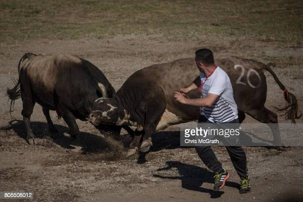A handler tries to get out of the way as bulls fight in the arena during the Kafkasor 2017 bull fights on July 1 2017 in Artvin Turkey Bullfighting...