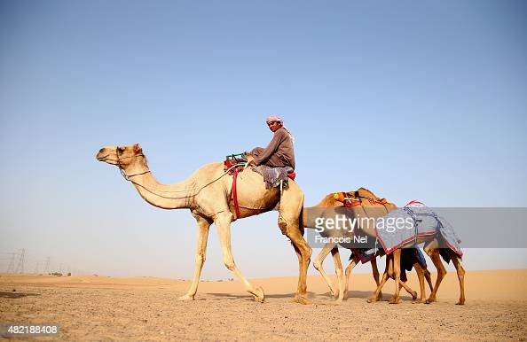 A handler walk his camels in the early morning on July 28 2015 in Dubai United Arab Emirates