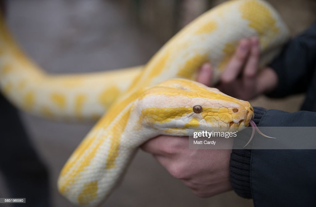 Handlers hold an albino Burmese Python at Noah's Ark Zoo Farm on August 2 2016 in Bristol England Noah's Ark Zoo Farm has teamed up with the Reptile...