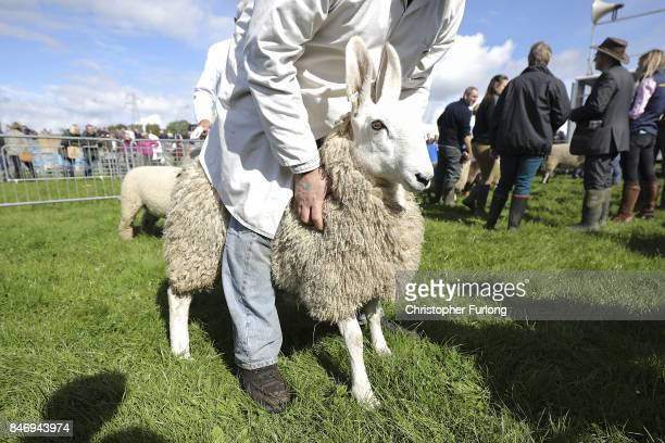 Handlers parade their sheep for judging during the Westmorland County Show on September 14 2017 in Milnthorpe England The Westmorland County Show is...
