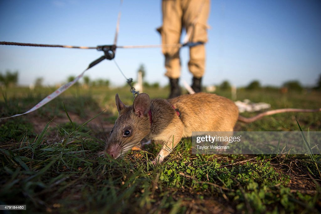 Handlers train rats to detect different types of mines and unexploded ordnance on July 2 2015 in Siem Reap Cambodia The Cambodian Mine Action Center...