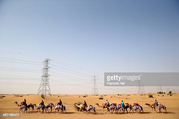 Handlers walk their camels in the early morning on July 28 2015 in Dubai United Arab Emirates